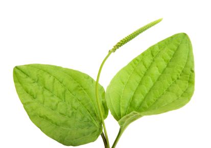 Plantain the Healing Wonder Weed